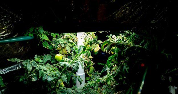 Saya Menumbuhkan Tomat Dengan Panas Dari PC Penambangan Kripto Saya | oleh Thomas Smith | Okt, 2020